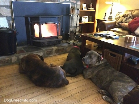 A blue nose Pitbull Terrier, a blue nose American Bully Pit and a brown with black brindle and white Boxer are laying on a hardwood floor around a coffee table and there is a fireplace roaring in front of them.