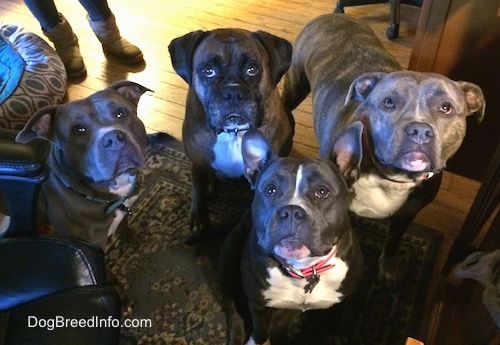 A blue nose American Bully Pit, an American Pit Bull Terrier, a brown with black and white Boxer and a blue nose Pit Bull Terrier are standing and sitting on a rug and they are looking up.