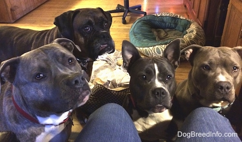 A blue nose American Bully Pit, an American Pit Bull Terrier, a brown with black and white Boxer and a blue nose Pit Bull Terrier are standing and sitting on a rug in front of a person wearing blue jeans who is sitting in a computer chair.