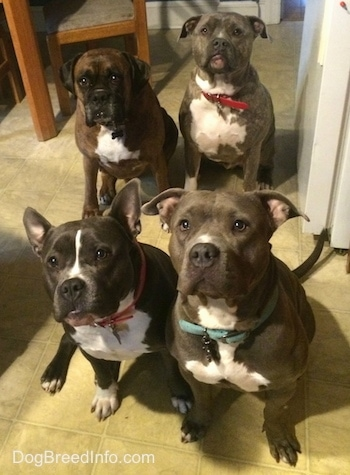 A blue nose American Bully Pit, an American Pit Bull Terrier, a brown with black and white Boxer and a blue nose Pit Bull Terrier are sitting on a tiled floor and they are looking up.