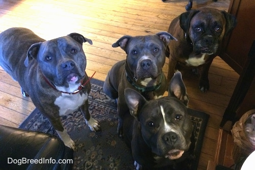 A blue nose American Bully Pit, an American Pit Bull Terrier, a brown with black and white Boxer and a blue nose Pit Bull Terrier are standing and sitting on a rug near a computer chair and they are looking up.