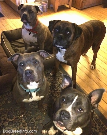 A blue nose American Bully Pit, an American Pit Bull Terrier, a brown with black and white Boxer and a blue nose Pit Bull Terrier are sitting and standing on a carpet and looking up.