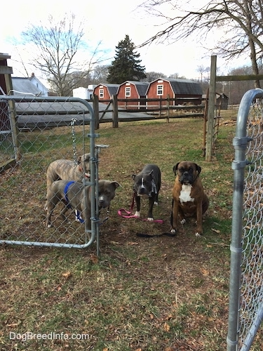 Four dogs are standing and sitting in front of a half open gate.