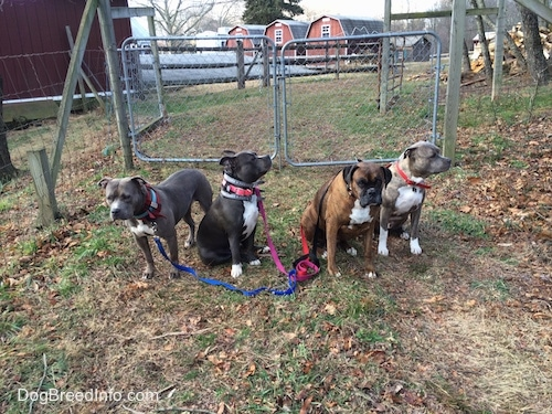 Four dogs are sitting and standing on the opposite side of a metal gate. They are either looking forward or to the right.