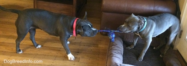 A blue nose American Bully Pit is having a tug of war with an American Pit Bull Terrier.
