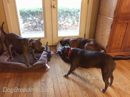 A blue nose American Bully Pit is having a tug of war with an American Pit Bull Terrier, behind them is a brown with black brindle and white Boxer laying on a dog bed.