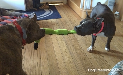 The back of a blue nose American Bully is having a tug of war with an American Pit Bull Terrier.