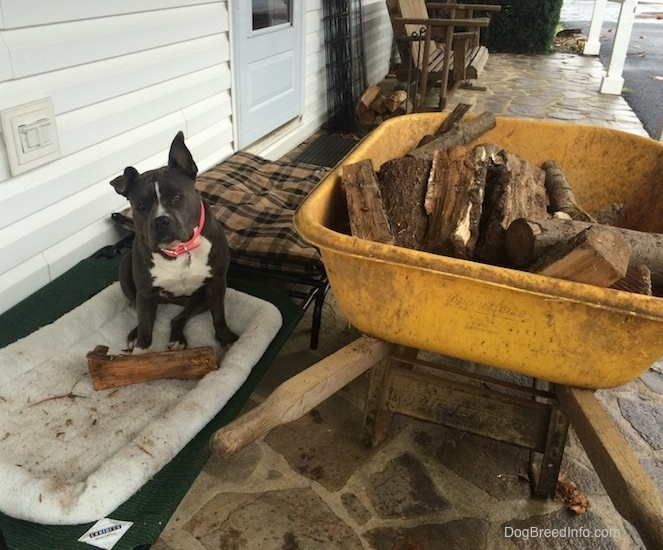 A blue nose American Bully Pit is sitting on a dog bed on a stone porch and there is a log in the dog bed. There is a wheelbarrow full of logs next to her.