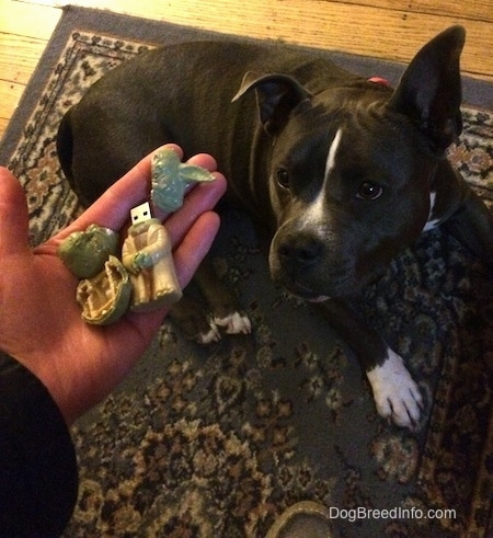 A person is holding a chewed up Yoda USB Stick in there hand. A blue nose American Bully Pit is laying on a rug and she is lifting her head up to look at the chewed up USB.