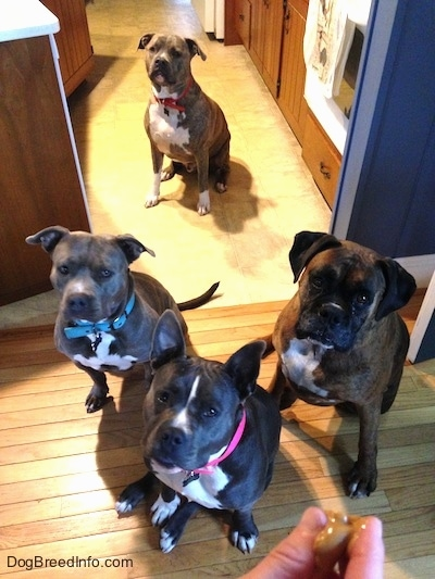 A person is holding a gob of peanut butter treat in there hand. Sitting in front of the person, waiting for the treat to be dropped is a blue nose American Bully Pit, a brown with black and white Boxer, a blue nose American Pit Bull Terrier and sitting in the background is a blue nose Pit Bull Terrier.