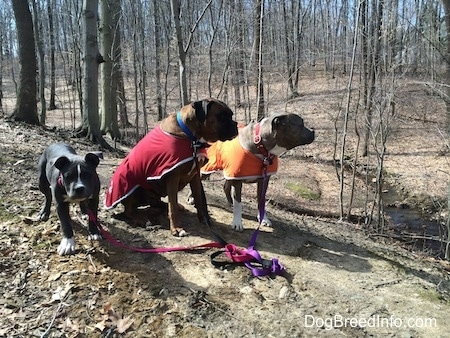 A blue nose American Bully Pit puppy is standing on a dirt path, next to her is a sitting brown with black and white Boxer that is wearing a red vest. Next to him is a blue nose Pit Bull Terrier in an orange vest.