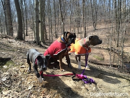 A blue nose American Bully Pit puppy is walking across a dirt path, next to her is a sitting brown with black and white Boxer that is wearing a red vest and standing next to him is a blue nose Pit Bull Terrier that is wearing an orange vest.