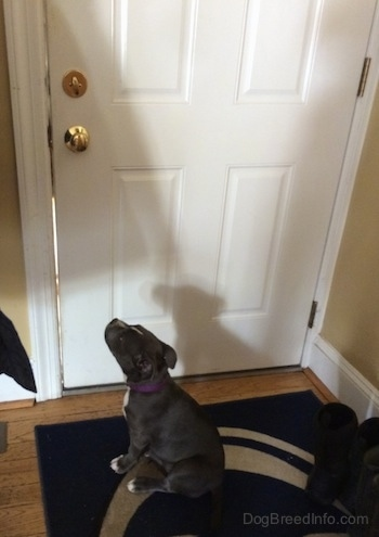 A blue nose American Bully Pit puppy is sitting on a Penn State University door mat. She is looking up at a door knob.