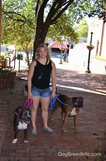 A blonde haired girl is standing on a brick sidewalk with a blue nose American Bully Pit dog and a brown brindle Boxer. The dogs have there mouths open and tongues out.
