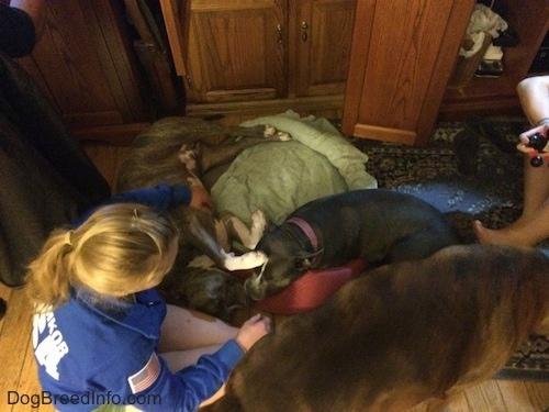 A blonde haired girl is petting the stomach of a blue nose American Bully Pit dog that is laying in a dog bed. Next to her is a blue nose gray colored pit bull dog. Walking away from the blonde haired girl is a brown brindle Boxer.