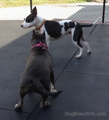 A black and white Frenchie Staffie is standing on a rubber mat and a blue nose American Bully Pit is standing adjacent to him. The dogs are about to play.