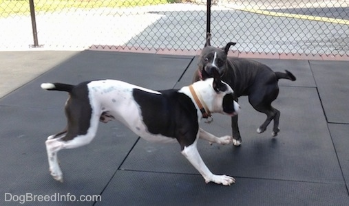 A black and white Frenchie Staffie is running across a rubber mat. There is a blue nose American Bully Pit that is playfully nipping at the Frenchie.