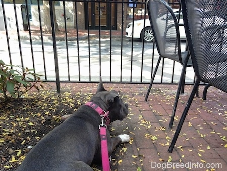 Back side view of a blue nose American Bully Pit dog laying on a brick sidewalk next to black outdoor chairs. she is looking out of the metal fence in front of her.