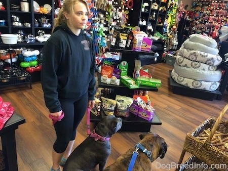 A blue nose American Bully Pit and a brown brindle Boxer are sitting on a hardwood floor in a pet store. There is a blonde haired girl standing behind the Bully Pit holding her leash.