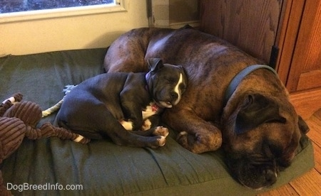 A blue nose American Bully Pit puppy is laying on the side of a brown with black and white Boxer. They are laying on a green dog bed pillow.