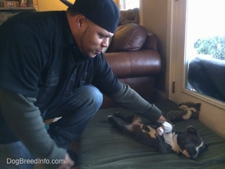 A man in a backwards hat is petting the side of a blue nose American Bully puppy that is laying on her back on a green pillow.