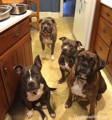 A blue nose American Bully Pit, an American Pit Bull Terrier, a brown with black and white Boxer are sitting on a tiled kitchen floor and behind them is a standing blue nose Pit Bull Terrier.