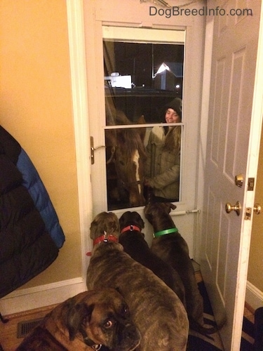 A blue nose American Bully Pit, an American Pit Bull Terrier and a blue nose Pit Bull Terrier are standing in front of a house door looking at the horse on the porch. A brown with black and white Boxer is looking back confused.