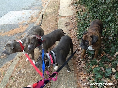 A blue nose American Bully Pit, an American Pit Bull Terrier, a brown with black and white Boxer and a blue nose Pit Bull Terrier are all on leashes standing on a sidewalk and they are looking to the left.