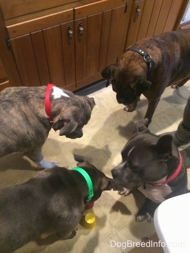 A blue nose American Bully Pit, an American Pit Bull Terrier, a brown with black and white Boxer and a blue nose Pit Bull Terrier are standing and sitting on a tiled floor. They are looking down at a cup treat that was placed down for them.