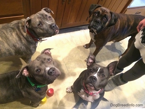 A blue nose American Bully Pit, an American Pit Bull Terrier, a brown with black and white Boxer and a blue nose Pit Bull Terrier are standing and sitting on a tiled floor looking up at the camera. There is a person standing behind them.