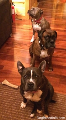 A blue nose American Bully Pit is sitting on a rug, behind her is a brown with black and white Boxer and behind him is a blue nose Pit Bull Terrier.