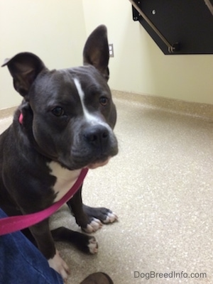 A blue nose American Bully Pit is sitting on a floor in a Veterinarian's office and looking forward.