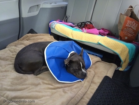 A blue nose American Bully Pit is sleeping on a dog bed in the back of a van. She is wearing a blue flexable dog cone.