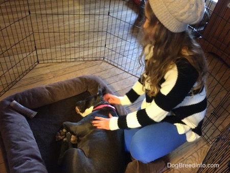 A girl in a black and white sweater is touching the side of a blue nose Bully Pit that is laying on her side on a dog bed in a pen.