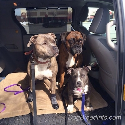 Two dogs and a puppy are sitting on a dog bed in the back seat of a van.