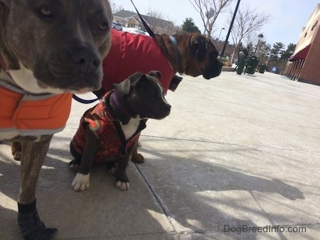 A brown with black and white Boxer is wearing a red vest, a blue nose Pit Bull Terrier is wearing an orange vest and a blue nose Pit Bull Terrier puppy is sitting on a concrete surface they are all looking to the right.