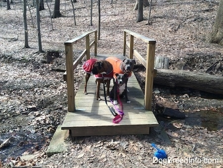 A blue nose American Bully Pit puppy is sitting on a small wooden bridge over a stream. Standing behind her is a brown with black and white Boxer that is wearing a red vest and standing next to him is a blue nose Pit Bull Terrier that is wearing an orange vest.
