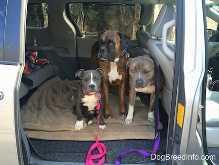 A blue nose American Bully Pit puppy is sitting on a dog bed in the backseat of a van. A brown with black and white Boxer is standing on a dog bed, next to him is a blue nose Pit Bull Terrier.