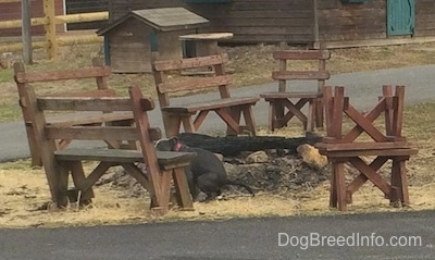 A blue nose American Bully Pit puppy is pooping on hay in the island of a driveway next to a fire pit and wooden benches.