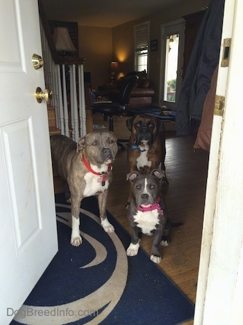 A blue nose American Bully Pit puppy is sitting on a Penn State University door mat and behind her is a blue nose Pit Bull Terrier and a brown with black and white Boxer. They are all looking out of an open door.