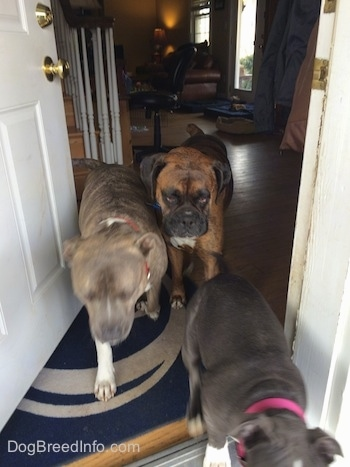 A blue nose American Bully Pit puppy, a blue nose Pit Bull Terrier and a brown with black and white Boxer are walking out of an open door.