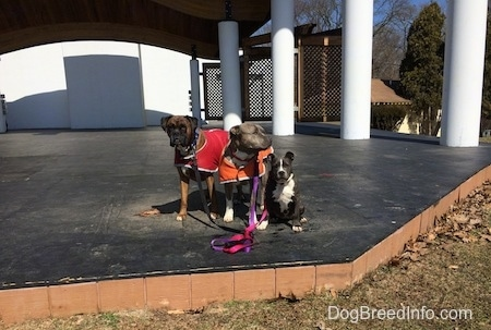 A blue nose American Bully Pit puppy is sitting on an outside stage and she is looking forward. To the left of her are a blue nose Pit Bull Terrier in an orange vest and next to him is a brown with black and white Boxer that is wearing a red vest.