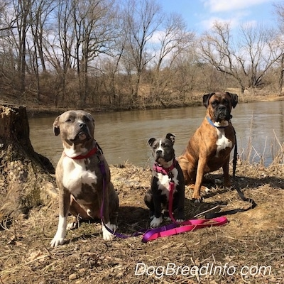 A brown with black and white Boxer, a blue nose American Bully Pit puppy and a blue nose pit bull are sitting on a dirt surface and looking forward in front of a body of water.