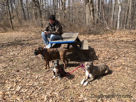 A man in a camo jacket is sitting on a wooden bench and looking at his phone. A brown with black and white Boxer is standing in leaves, in front of him is a blue nose American Bully Pit puppy that is sitting in the leaves. To the right of him is a blue nose Pit Bull Terrier laying down.