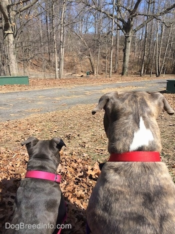 Close up - The back of a blue nose American Bully Pit puppy and a blue nose Pit Bull Terrier that are sitting next to each other and looking at a person in green walking a dog in the distance in a park.