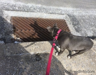 A blue nose American Bully Pit puppy is looking down a storm drain.