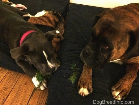 A blue nose American Bully Pit puppy is chewing on a pine branch and laying on a blue orthopedic dog bed pillow. There is a brown with black and white Boxer laying next to her looking to the left.