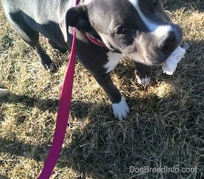 Close up - A blue nose American Bully Pit puppy is standing in grass and she has a piece of a napkin in her mouth.
