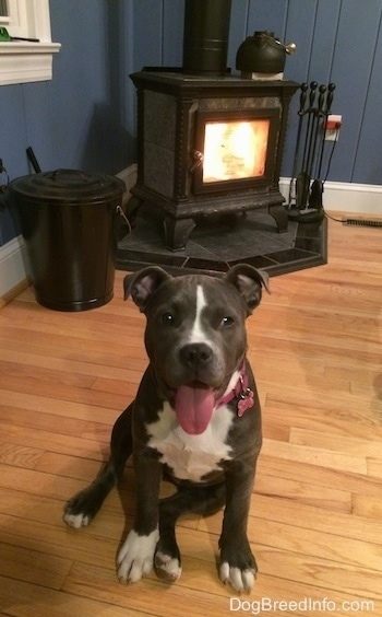 A blue nose American Bully Pit is sitting on a hardwood floor, her mouth is open and her tongue is out. Behind her is a roaring fireplace.