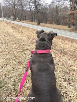 The back of a blue nose American Bully Pit puppy sitting in grass and looking at the road to the right of her.